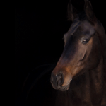 beautiful bay horse on black background promoting equestrian social media marketing services