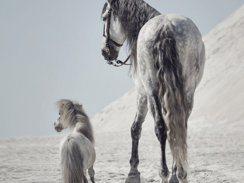 beautiful grey pony and horse