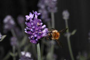 A bee on a purple flower