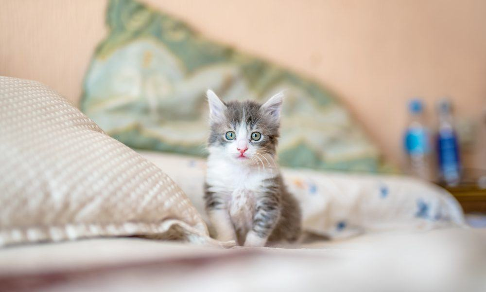 A grey and white kitten sat on a bed.