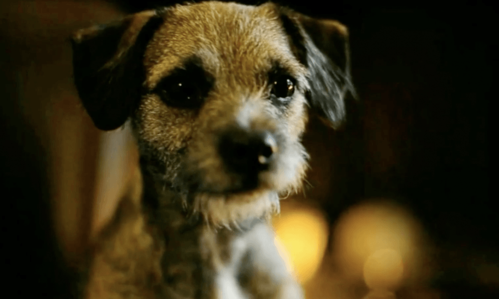 Cute Border Terrier Promoting MirrorMePR Pet PR Services