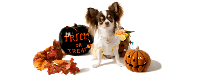 A small, white and brown dog surround by pumpkins for Halloween