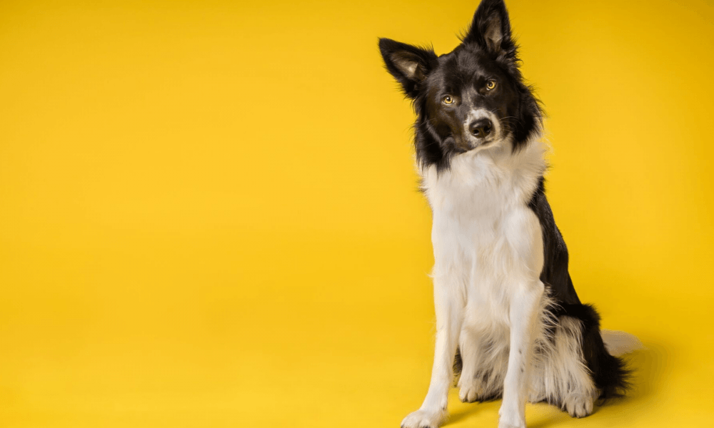 A photo of a black and white dog against a yellow background