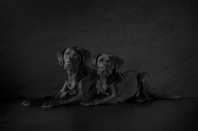 Two Stunning Black Labradors By Pet Portrait Photographer Karen Bennett Photography