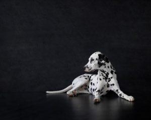 Beautiful Dalmatian Dog By Portrait By Karen Bennett Photography