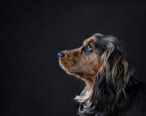Beautiful Dog By Pet Portrait Photographer Karen Bennett