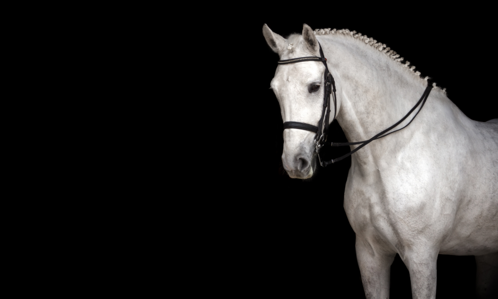 Beautiful grey dressage horse on black background