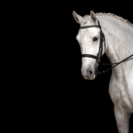 Beautiful grey dressage horse on black background