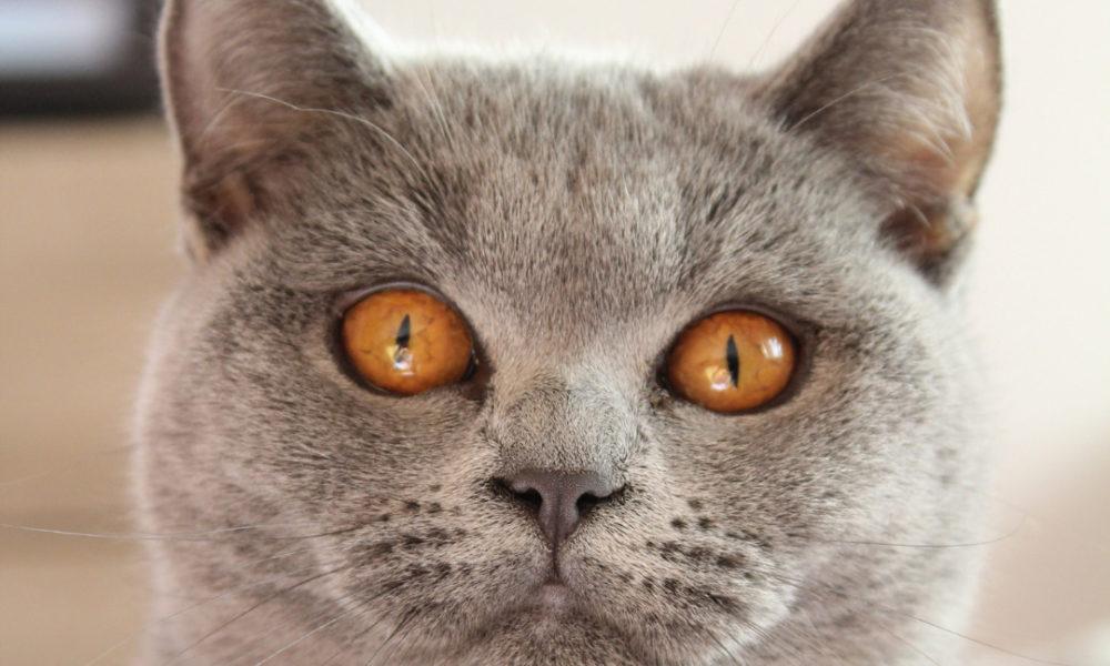 Beautiful British Blue Cat Enjoying Happy Cat Month